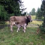 Mutterkuh vom Original Braunvieh mit Kälbchen