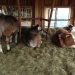 Im neuen Freilaufstall fühlen sich unsere Rinder sichtlich wohl